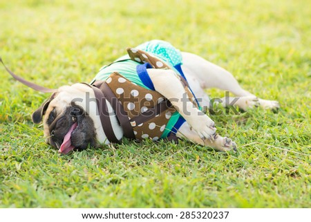 Close-up face of cute pug puppy dog tired sleeping rest by face and tongue lay down on field