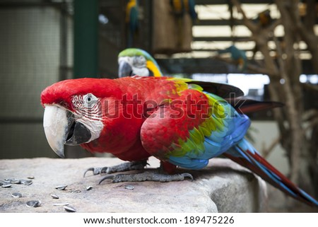 Shutterstock close up face of Green-winged Macaw, Ara chloropterus eating sun flowers seed on rock ground