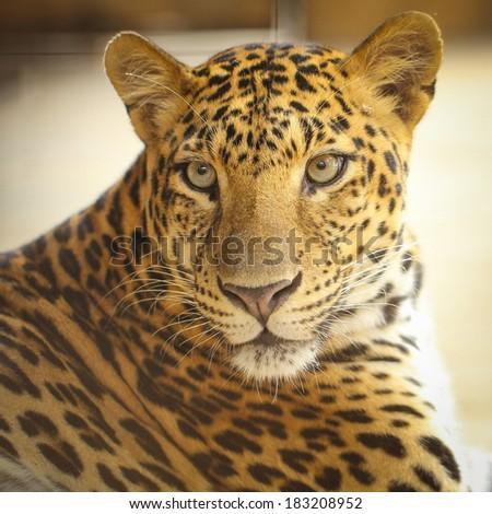 Close up face of Jaguar animal in nature wild
