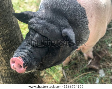 Close up face of old pink and black pig standing in the field #1166724922