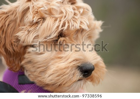 close up face shot of a mini labradoodle puppy, which is part Labrador Retriever and Poodle