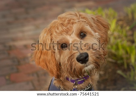 close up face shot of five month old labradoodle looking in the camera with it's head turned.