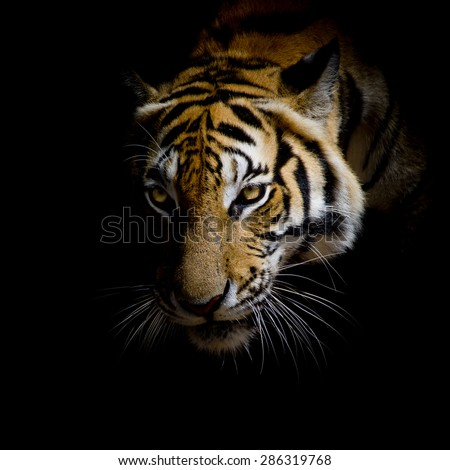 stock photo close up face tiger isolated on black background 286319768 - Каталог — Фотообои «Животные»
