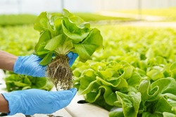 Close up farmer hand in gloves harvest farm product fresh vegetable in green house or hydroponic organic farm for clean and food supplier chain as agriculture business