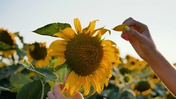 Close-up female hand holds sunflower flower and tears off flower petals one by one. Game of loves - does not love.