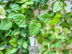 Close Up Ficus Pumila (Tanaman Rambat Dinding)