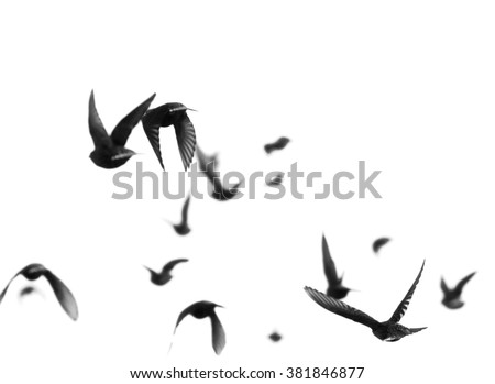 close up flock of birds isolated on a white background, Starling, Sturnus vulgaris with clipping path