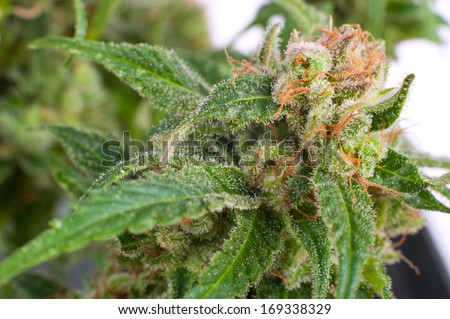 Close-up Flower Bud Marijuana Plant  crystals