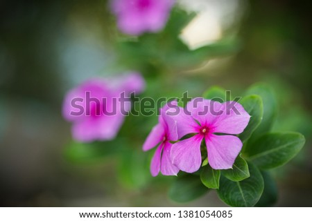 Close up flower: Catharanthus roseus (Madagascar periwinkle, rose periwinkle, or rosy periwinkle) - a species of flowering plant in the dogbane family Apocynaceae #1381054085