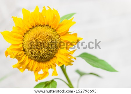 Close-up flower head of sunflower, white wall on background, horizontal format