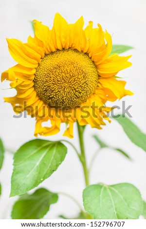 Close-up flower head of sunflower, white wall on background, vertical format