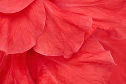 Close-up flower petals, abstract natural background with vivid red color.