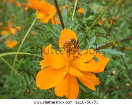 Close up flower with honey bee collecting nectar and pollen. Nectar stick on it legs