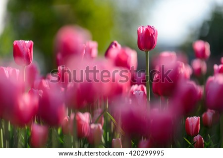 Close up flowers background. Amazing view of colorful pink tulip flowering in the garden and green grass landscape at sunny summer or spring day.