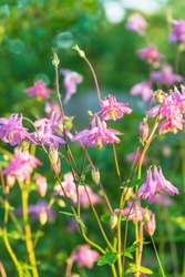 Close up for Beautiful blooming pink colombines or aquilegia flo