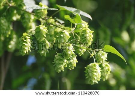Close  up  Fresh Green  hops   in summer