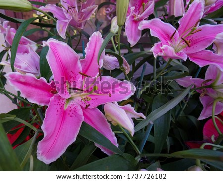 Close up fresh pink lily flowers around lilies flower, green leaves at the garden in the summer season in the North of Thailand.  Lilies Lilium Lily - is a genus plant of Lily family ( Liliaceae)