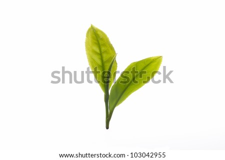 Close up fresh tea leaves on white background