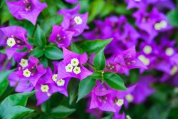 close-up fresh tropical bougainvillea or bougainville violet blooming flowers on green leaves background, horizontal outdoors summer floral and botanical stock photo image wallpaper