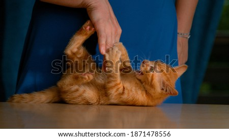 CLOSE UP: Frisky little ginger baby cat bites and claws its female owner's hand while being teased and petted. Unrecognizable young woman wearing a blue dress plays with cute her orange tabby kitty.