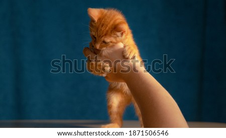 CLOSE UP: Frisky little tabby kitten bites its female owner's hand during their playtime. Cute shot of a ginger baby cat using its sharp little claws and teeth while playing with unrecognizable woman.