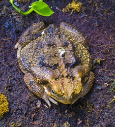 Close-up frog toad (Bufo bufo)