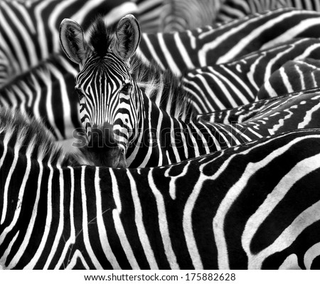 stock photo close up from a zebra surrounded with black and white stripes in his herd 175882628 - Каталог — Фотообои «Животные»