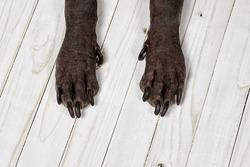 Close up front paws of Xoloitzcuintle dog, or Mexican Hairless breed, with dark skin and black nails, on white wooden background. Unusual body parts of exotic animal. Copy space.