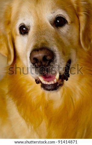 close up front view of a smiling Golden Retriever