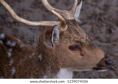 Close up front view of deer head looking sad at the right side. Croatia. #1239074506