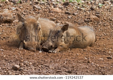Close-up front view of two warthog lying together; Phacochoerus aethiopicus