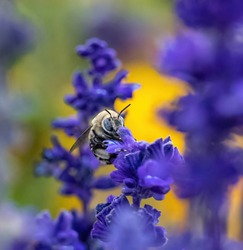 Close up frontal view of a Digger Bee engaged in pollination in a purple lavender flower with a colorful garden background.