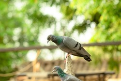 Close-up full body of a pigeon bird sitting outside in summer with blur background of nature