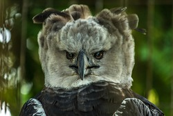 Close-up full face portrait of a harpy eagle. The American harpy eagle (Harpia harpyja) lives in the tropical lowland rainforests of America. It's a Near Threatened species.