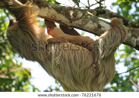 close up full frame of three toe sloth adult mother with baby, cahuita, caribbean side, costa rica, central america. unusual exotic mammal with infant in lush tropical jungle
