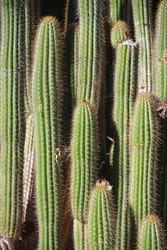 Close-up full frame partial view of a very tall spiky  Cardon Pachycereus Pringlei Cactus