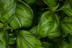 Close up full frame top view studio shot of fresh green basil he