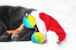 close up funny dachshund puppy in Santa hat and fashionable sunglasses with chromatic polarized lenses sleeps on bed at home.