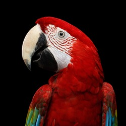 Close-up Funny portrait of Green-winged macaw, Ara chloroptera, isolated on black Background. parrots live in Central and South America