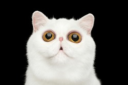 Close-up Funny Portrait of surprised Pure White Exotic Cat Head on Isolated Black Background, Front view, Curious fascinated Looking up, Huge Eyes