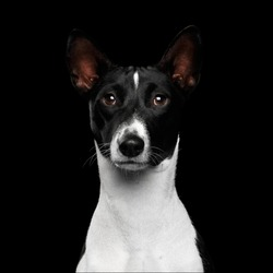 Close-up Funny Portrait White with Black Basenji Dog, Looking in camera on Isolated Black Background