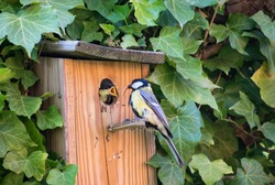 Close up garden scene, nest box and ivy, adult great tit bird feeding young with insect, song bird. Natural outdoor european wild animals.