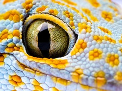 Close up Gecko Header. Eye gecko isolated white background