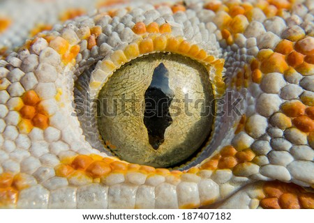 Close up Gecko of northern Thailand