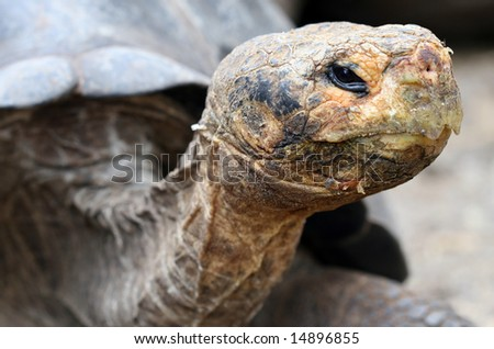 Close up Giant Galapagos Tortoise - Head Shot; on Santa Cruz Island