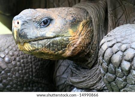 stock-photo-close-up-giant-galapagos-tortoise-head-shot-on-santa-cruz-island-14990866.jpg