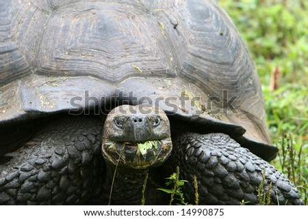 Close up Giant Galapagos Tortoise on Santa Cruz Island