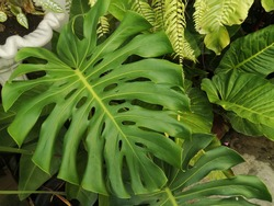 Close up Giant monstrera tropical leave ,tropical tree leaf background