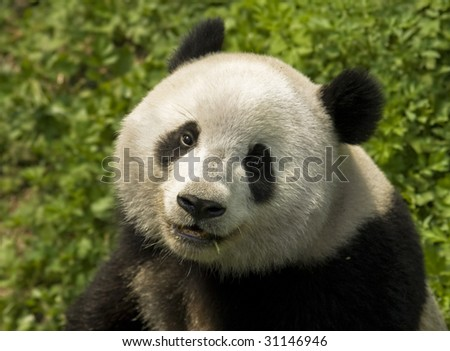 close-up  Giant panda in national park photo
