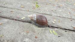 close up giant snail on concrete stone